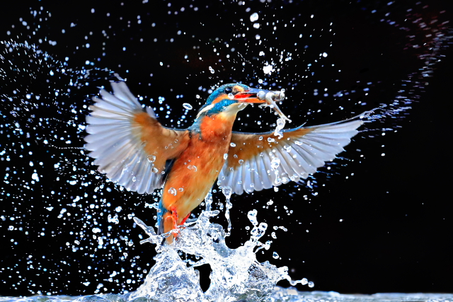 EOS 1D X Mk II_Sample_Image_Andy_Rouse_Kingfisher_03+
