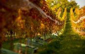Na vínnych tour ochutnáte známe vína zokolia Trnavy