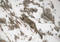 Zachytiť snežného leoparda